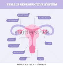 Anatomy Of Reproductive System Female Reproduction Stock Images Royalty Free Images U0026 Vectors