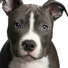 american pitbull terrier 10 months training a pit bull puppy thriftyfun