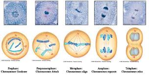 mitosis and cancer