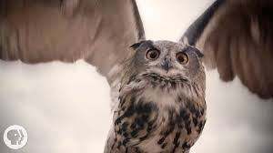 what makes owls so quiet and so deadly deep look youtube