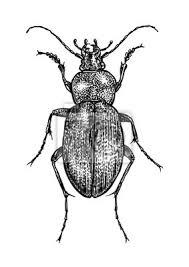 was ist das für ein insekt eine wanze oder was urlaub insekten graviert gezeichnet illustration insekt wanze käfer