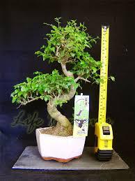 bonsai saule pleureur plants bonsai les bons plans de micromonde