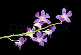 purple orchid flower beautiful purple orchid flower stock photo colourbox