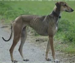 afghan hound breed afghan hound natural history