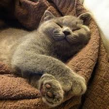 sleeping on short hair british shorthair always smiling looks exactly like me when i m