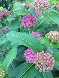 montana native plants native plants u2014 edward k cheng