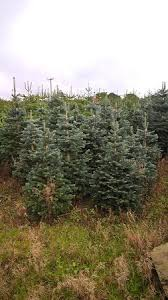 christmas trees picture of pine cone cafe dundee tripadvisor