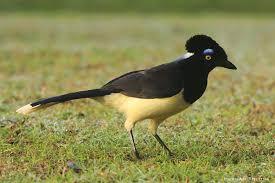 imagenes del animal urraca aves de argentina urraca común cyanocorax chrysops