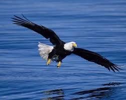 bald eagle audubon field guide
