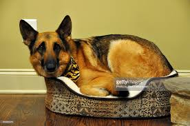 big dog in a small dogs bed stock photo getty images