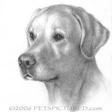drawn golden retriever labrador pencil and in color drawn golden