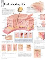 Human Anatomy Integumentary System Integumentary System Scientific Publishing