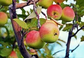 symbolism trees apple tree symbolism sun signs