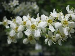 tree with white flowers what do i three anchorage trees with white flowers