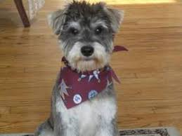 miniature schnauzer smart and obedient pup home miniature