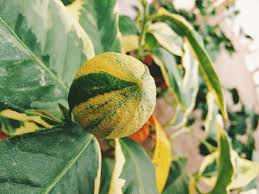 When Does A Lemon Tree Produce Fruit - citrus varieties micro budding u0026 citrus characteristics chart