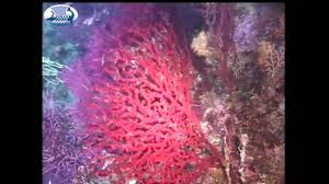 Red Coral Home Decor by Red Corals In The Mediterranean Sea Aegean Sea τα κόκκινα