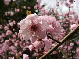 flowering plums how to grow and care for flowering plum trees