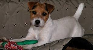 australian shepherd jack russell terrier mix parson russell terrier dog breed information american kennel club