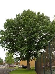 buy burr oak tree seedlings 99 get free shipping