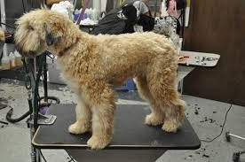 wheaten haircuts the wheaten terrier pet trim grooming business magazine january 2014
