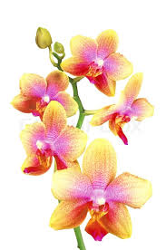 yellow orchid pink and yellow orchid isolated on white background stock photo