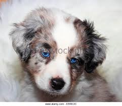 australian shepherd puppies 7 weeks australian shepherd puppies stock photos u0026 australian shepherd