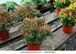 ornamental pepper plant stock images royalty free images