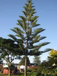 starfruit carambola tree growing tree fast growing and garden ideas