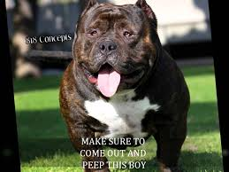 american pitbull terrier wanted american bully eazy e comptons most wanted youtube