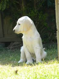 afghan hound breeders new york afghan hounds for sale picture and images