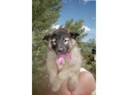 belgian sheepdog puppies for sale in michigan belgian tervuren puppies for sale