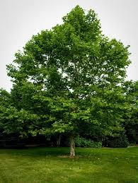 buy shade trees the tree center