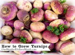 how to grow turnips start to finish one hundred dollars a month