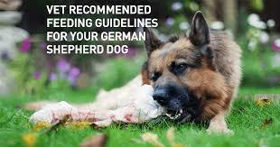 vet recommended feeding guidelines for your german shepherd dog