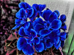 blue and purple flowers blue flowers hdr by dcalq3dneopl la vida es azul azul es vida