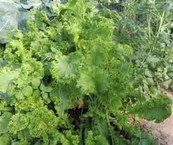how to grow mustard plants greens growing mustard seeds vegetable