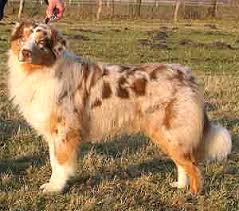 australian shepherd qld australian cattle dogs in russia raiskie kuschi