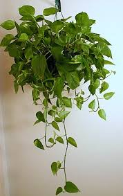 indoor vine plant green house how to build an indoor garden golden pothos boston