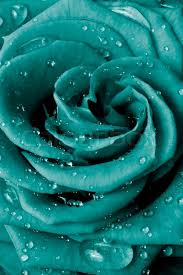 teal roses up of petals stock photo colourbox