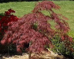 crimson japanese maple trees growing tips