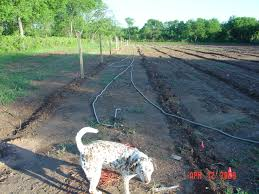 trellis and irrigation for grape vines started 2009 beavers