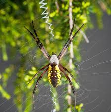 garden spiders weavers of delicate webs