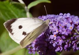 butterfly conservation large white
