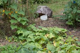 cucumbers seeds mulch and weeds