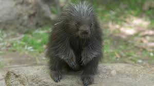 bronx zoo debuts new baby porcupine am new york