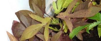 ornamental sweet potato sweet potato vine ipomoea batatas sweet