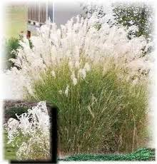 43 best ornamental grasses for zone 4 images on plants