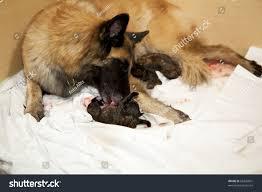 belgian sheepdog origin belgian shepherd taking care her stock photo 68205061