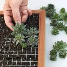 succulents succulent diy kits container gardens u0026 succulent gifts